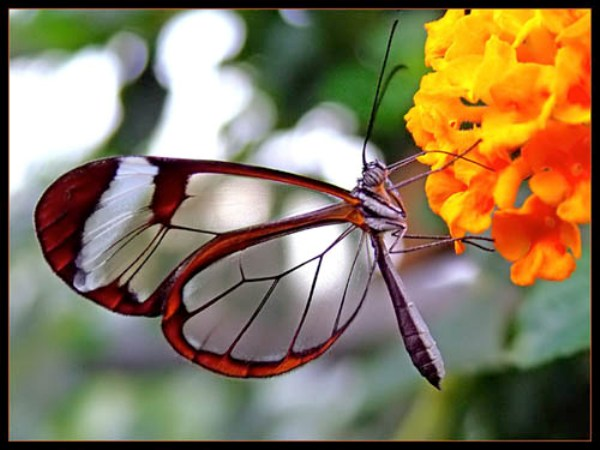 transparent butterfly2 sm
